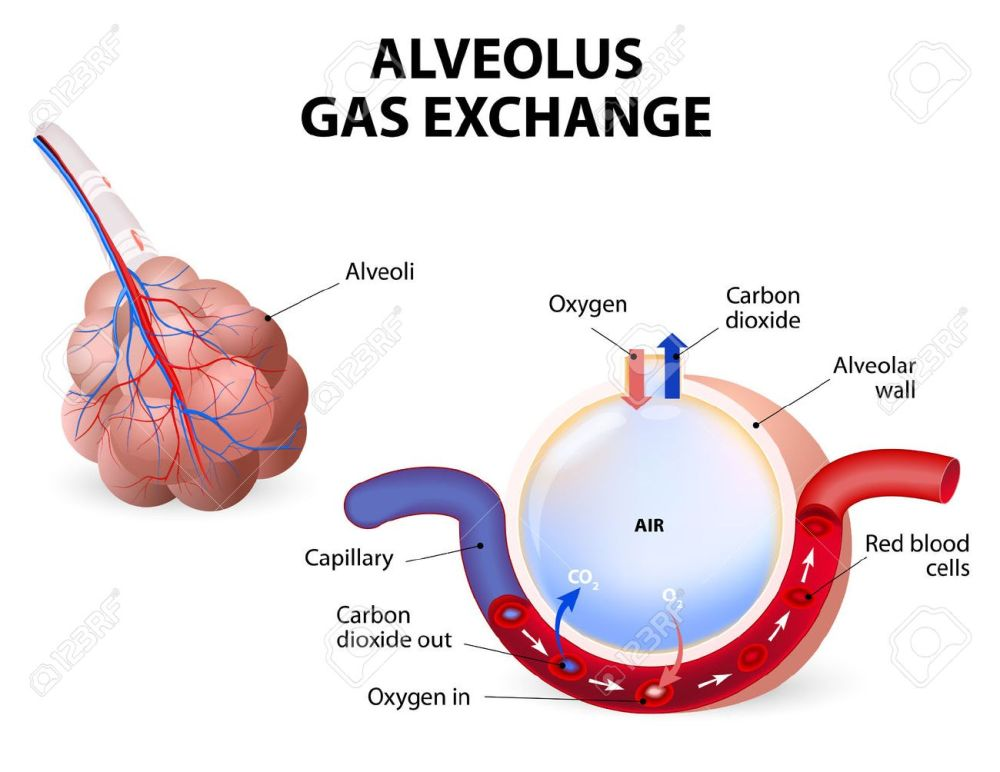 medium resolution of alveolus gas exchange alveoli and capillaries in the lungs stock vector 34806367