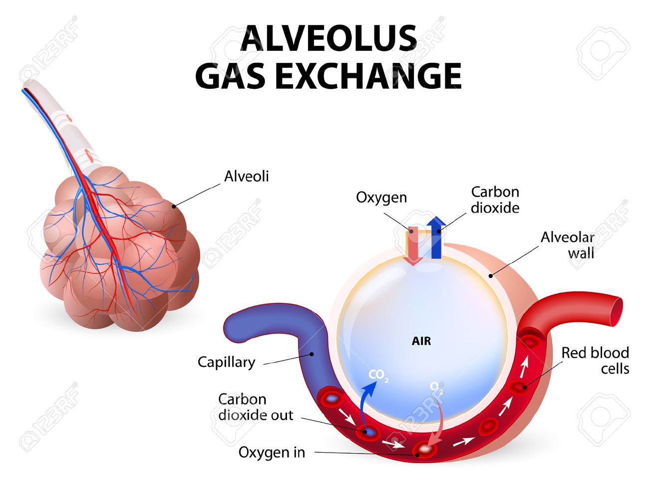 hight resolution of alveolus gas exchange alveoli and capillaries in the lungs stock vector 34806367