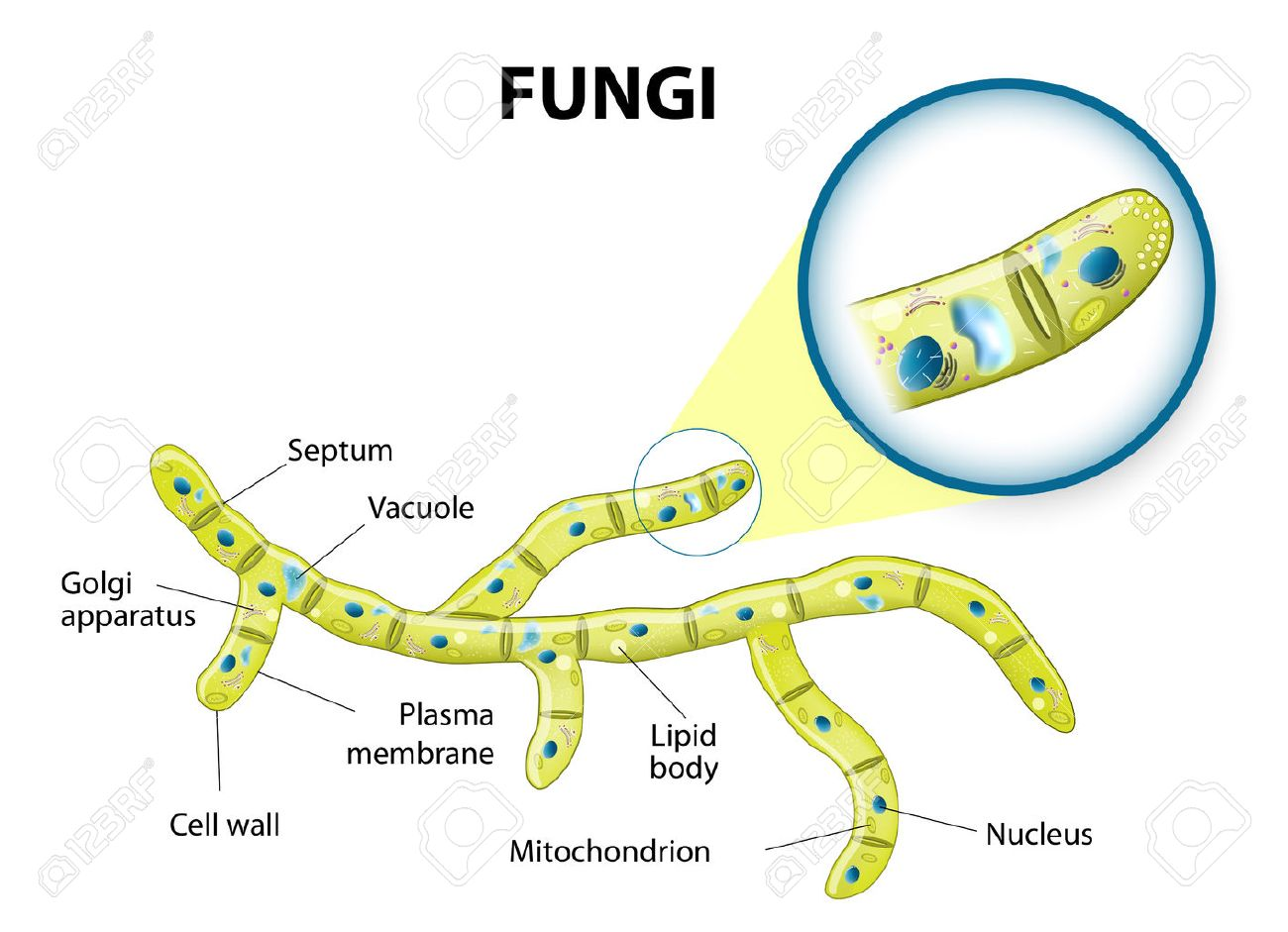 hight resolution of typical fungi cell fungal hyphae structure fungi diagram illustrating the ultrastructure of a