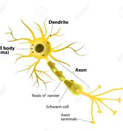 neuron and synapse labeled diagram stock vector 37371607 [ 1300 x 1155 Pixel ]