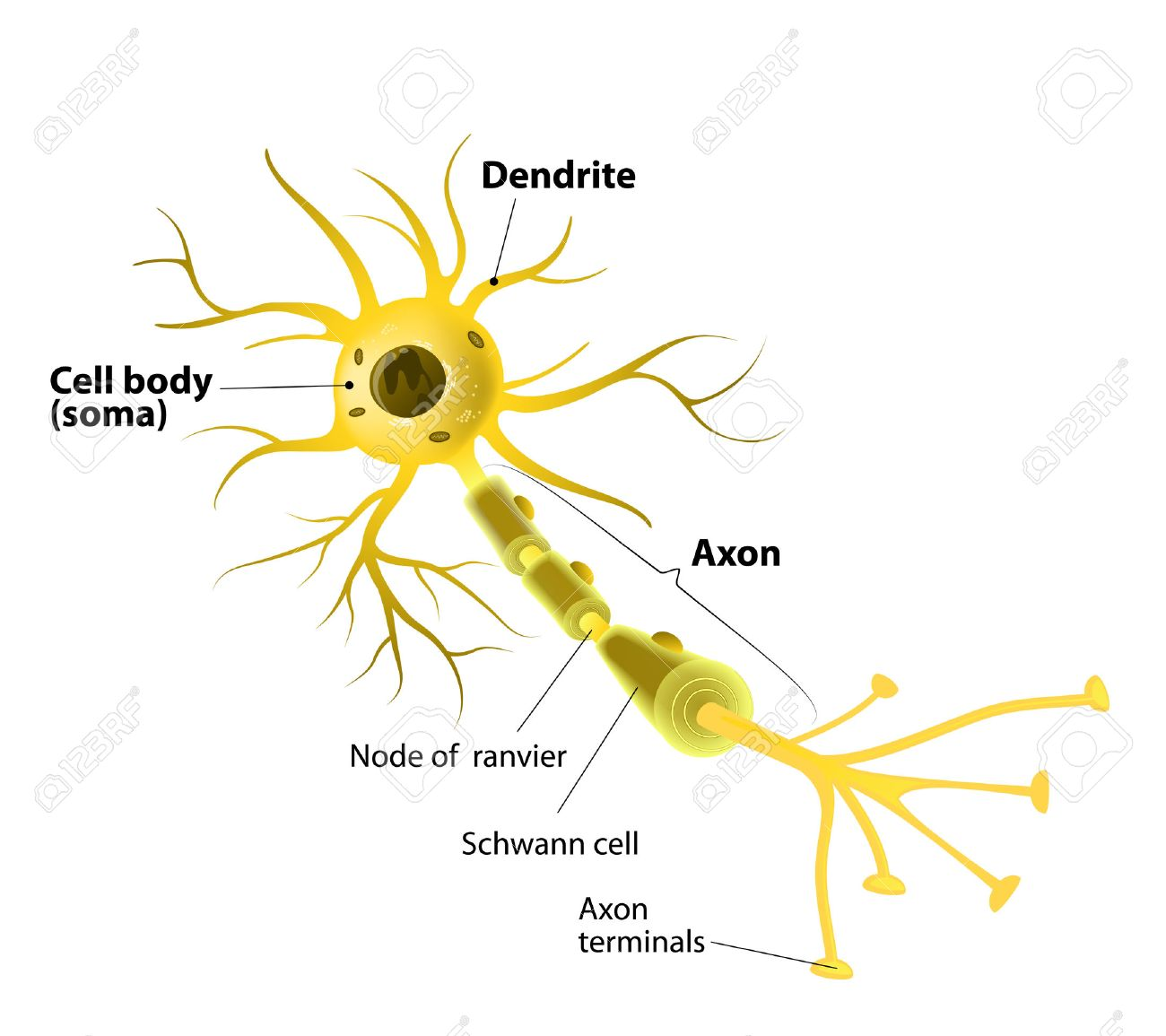 hight resolution of neuron and synapse labeled diagram stock vector 37371607
