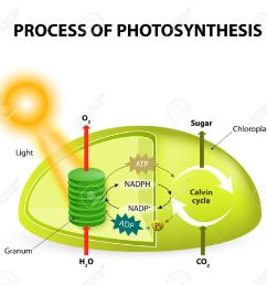 diagram of the process of photosynthesis showing the light reactions and the calvin [ 1300 x 1219 Pixel ]
