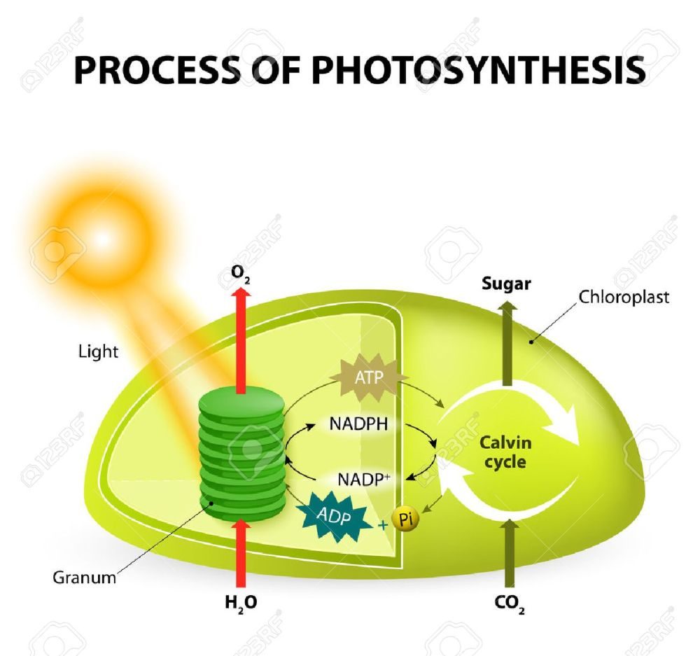 medium resolution of diagram of the process of photosynthesis showing the light reactions and the calvin
