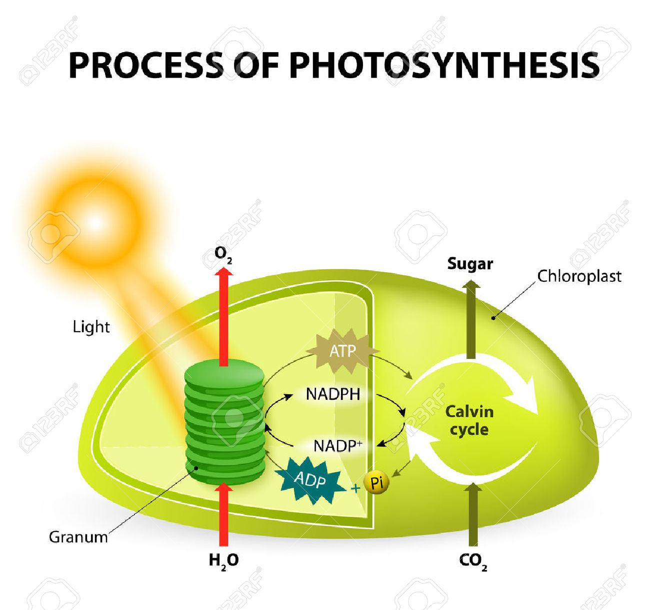 hight resolution of diagram of the process of photosynthesis showing the light reactions and the calvin