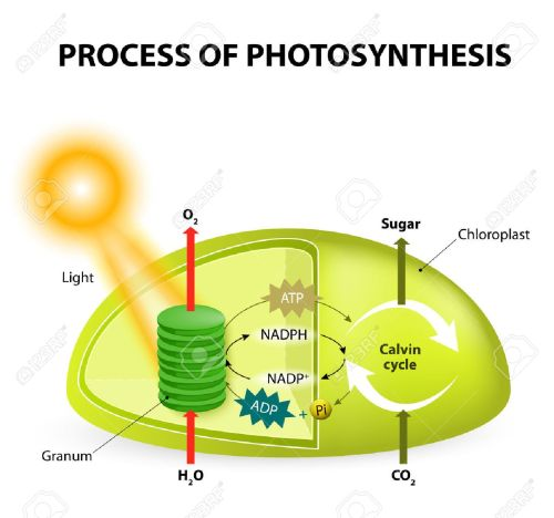 small resolution of diagram of the process of photosynthesis showing the light reactions and the calvin