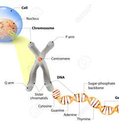 cell chromosome dna and gene cell structure the dna molecule dna diagram gene [ 1300 x 961 Pixel ]