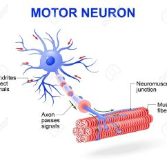 Detailed Neuron Diagram How To Do A Tree Axon Of Motor Labeled Enam Stanito Com Structure Vector Include Dendrites Rh 123rf Typical