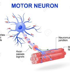 structure of motor neuron vector diagram include dendrites cell body with nucleus axon myelin sheath nodes of ranvier and motor end plates  [ 1300 x 1087 Pixel ]