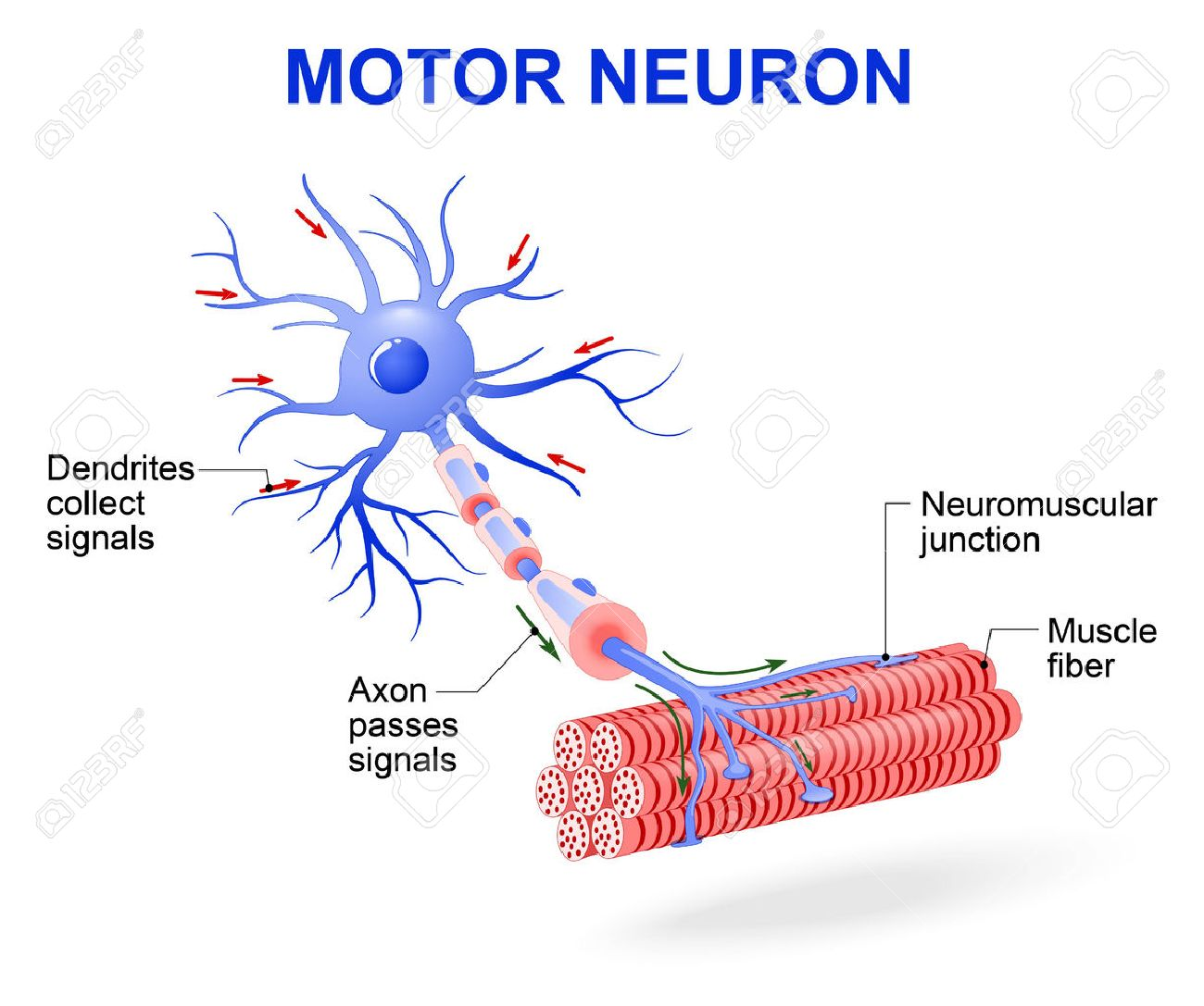 hight resolution of structure of motor neuron vector diagram include dendrites cell body with nucleus axon myelin sheath nodes of ranvier and motor end plates