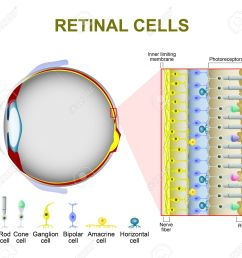photoreceptor cells in the retina of the eye retinal cells rod cell and cone [ 1300 x 1223 Pixel ]