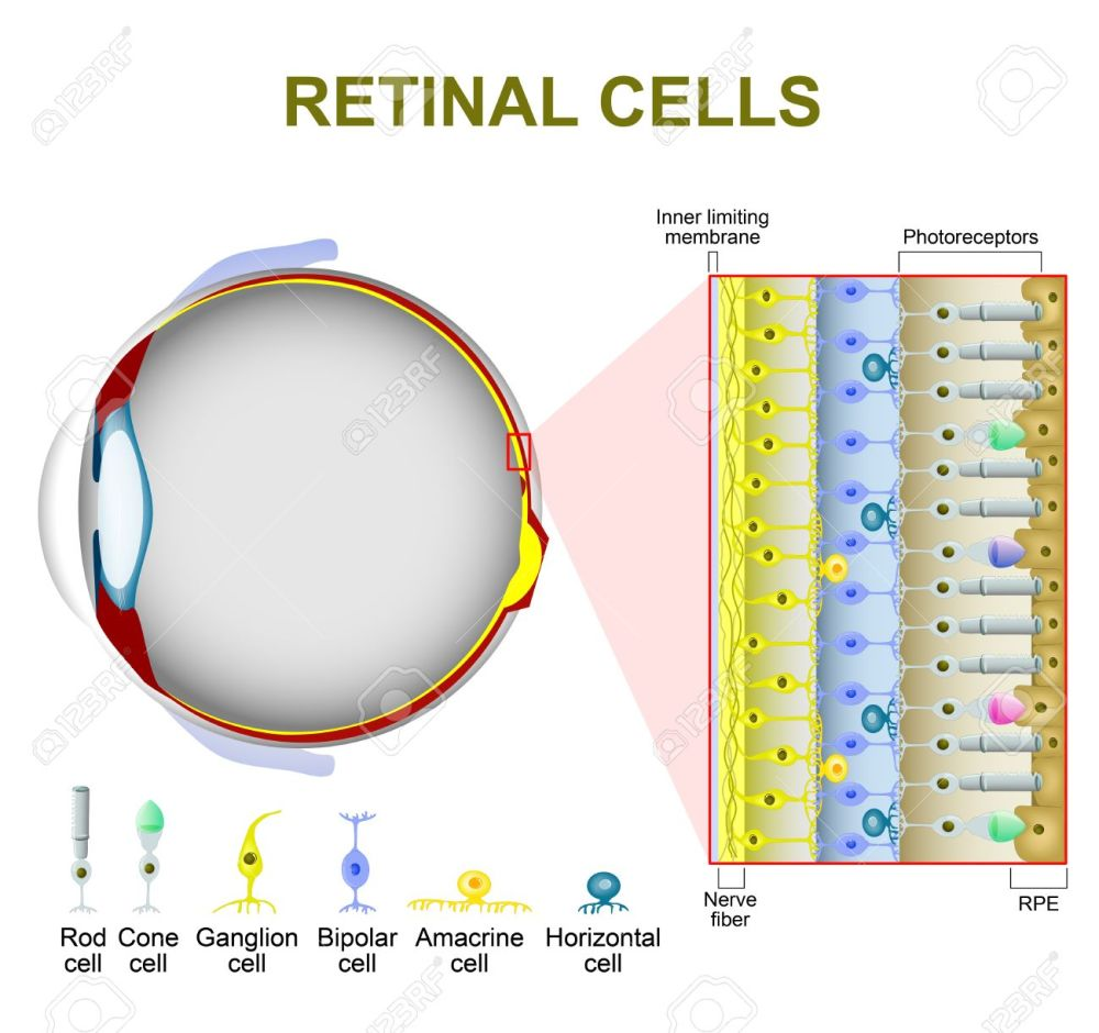 medium resolution of photoreceptor cells in the retina of the eye retinal cells rod cell and cone
