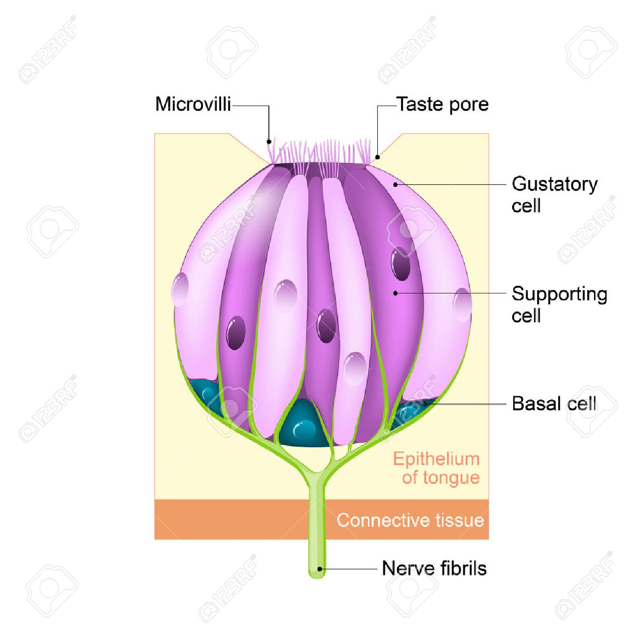 hight resolution of taste receptors of the tongue are present in the taste buds of papillae taste