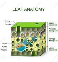 leaf anatomy diagram of leaf structure royalty free cliparts [ 1300 x 1300 Pixel ]