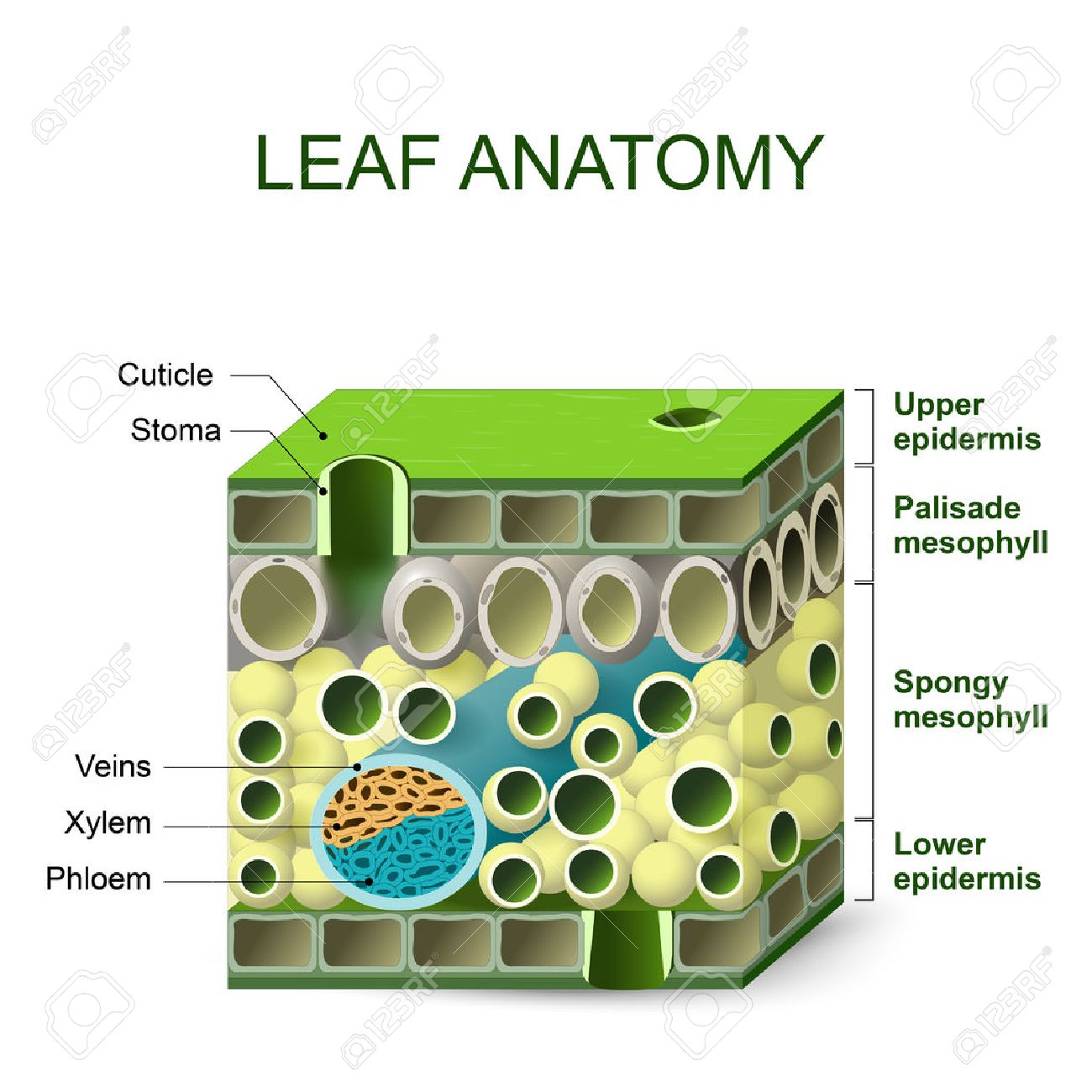 hight resolution of leaf anatomy diagram of leaf structure royalty free cliparts