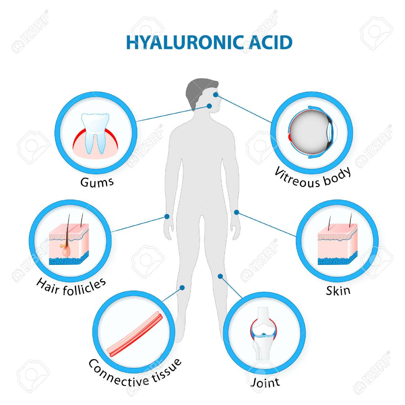hight resolution of hyaluronic acid in the human body stock vector 69252664