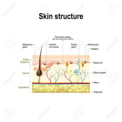 Skin Cross Section Diagram 220 To 110 Wiring Human And Hair Structure Of The Anatomy