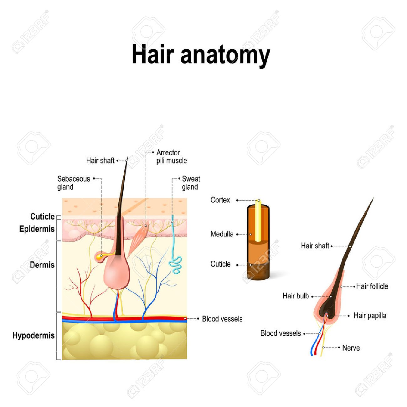 hight resolution of diagram of a hair follicle and cross section of the skin layers