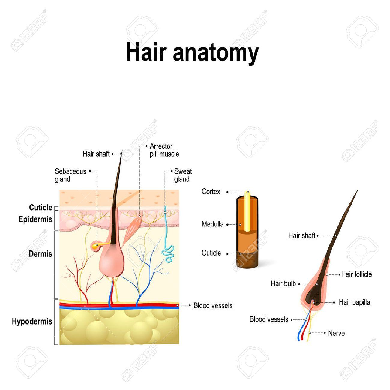 hight resolution of human hair anatomy diagram of a hair follicle and cross sectionhuman hair anatomy diagram of a
