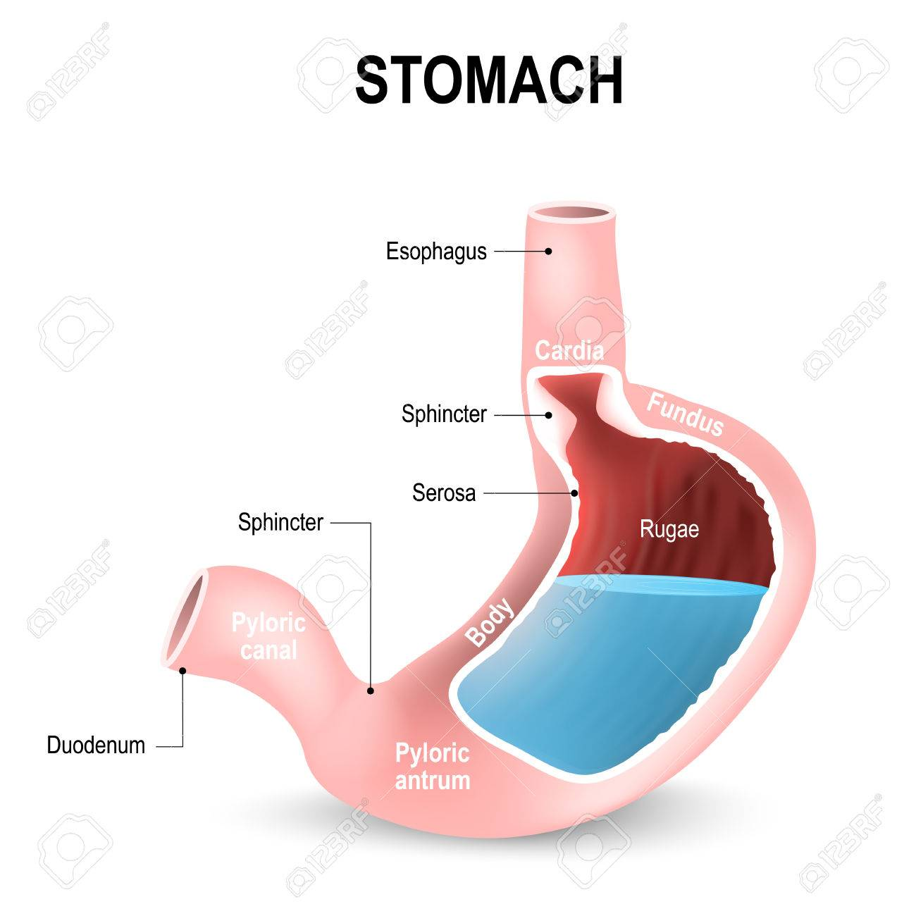 hight resolution of sections of the stomach parts and regions duodenum esophagus sphincter and body