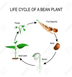 life cycle of a bean plant stages of growing of bean seed the most common example of life cycle from a seed to adult plant plant development  [ 1300 x 1300 Pixel ]