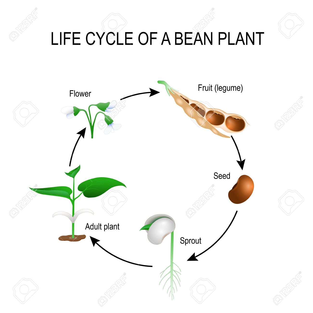 hight resolution of life cycle of a bean plant stages of growing of bean seed the most common example of life cycle from a seed to adult plant plant development