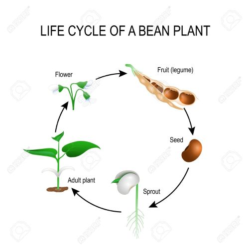 small resolution of life cycle of a bean plant stages of growing of bean seed the most common example of life cycle from a seed to adult plant plant development
