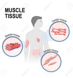types of muscle tissue skeletal smooth and cardiac muscle silhouette of a man [ 1300 x 1300 Pixel ]