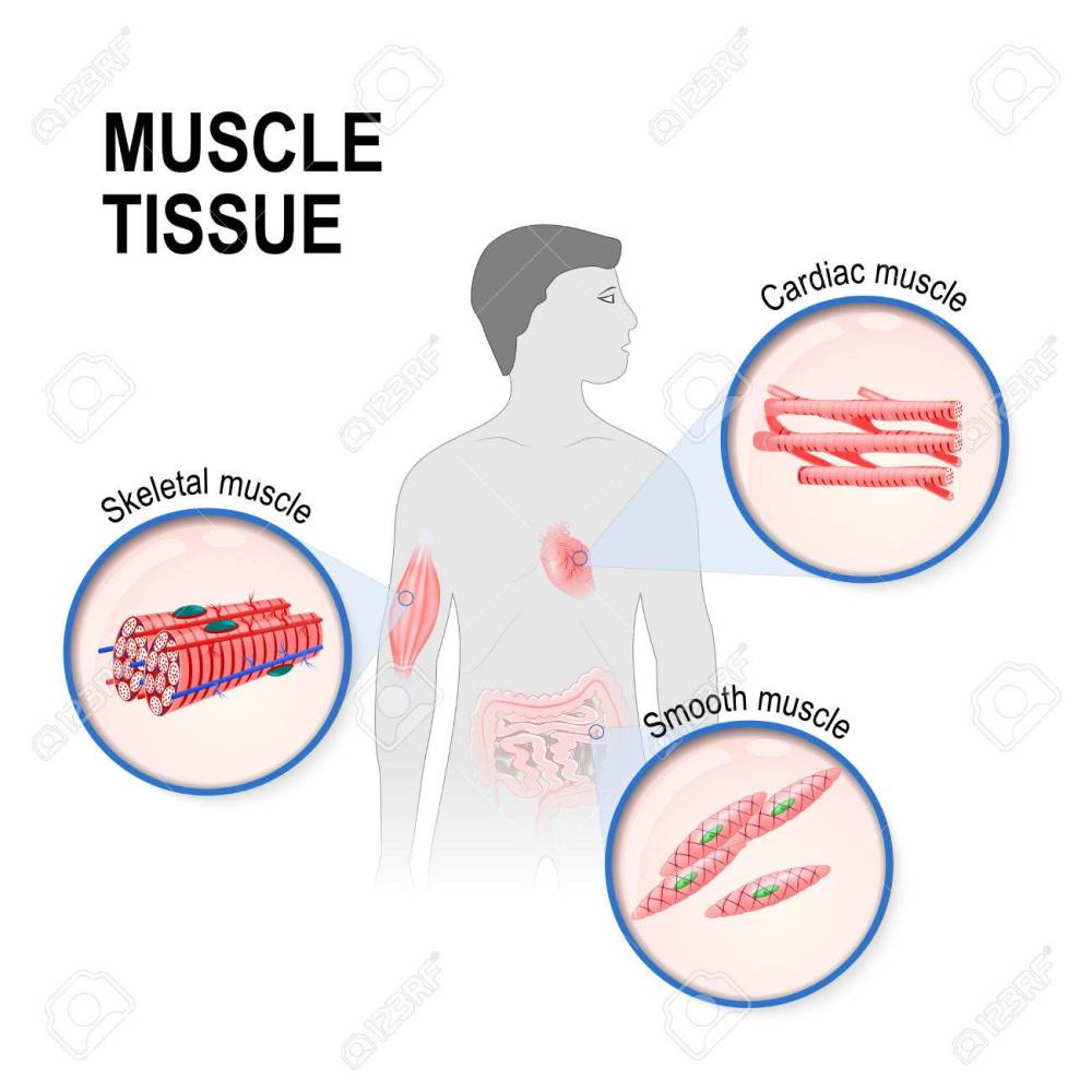 medium resolution of types of muscle tissue skeletal smooth and cardiac muscle silhouette of a man