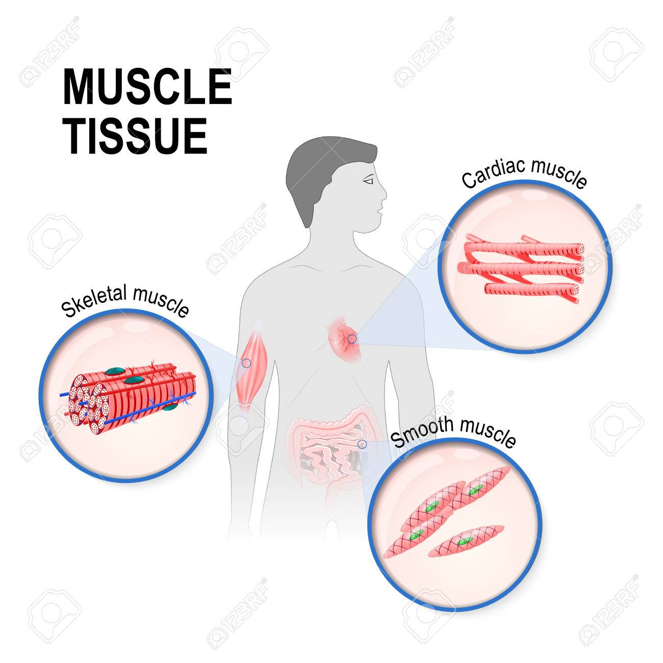 hight resolution of types of muscle tissue skeletal smooth and cardiac muscle silhouette of a man