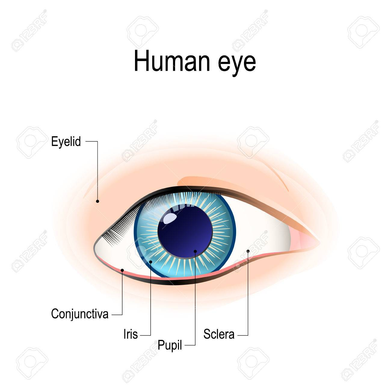 hight resolution of anatomy of the human eye in front external view schematic diagram detailed illustration stock vector