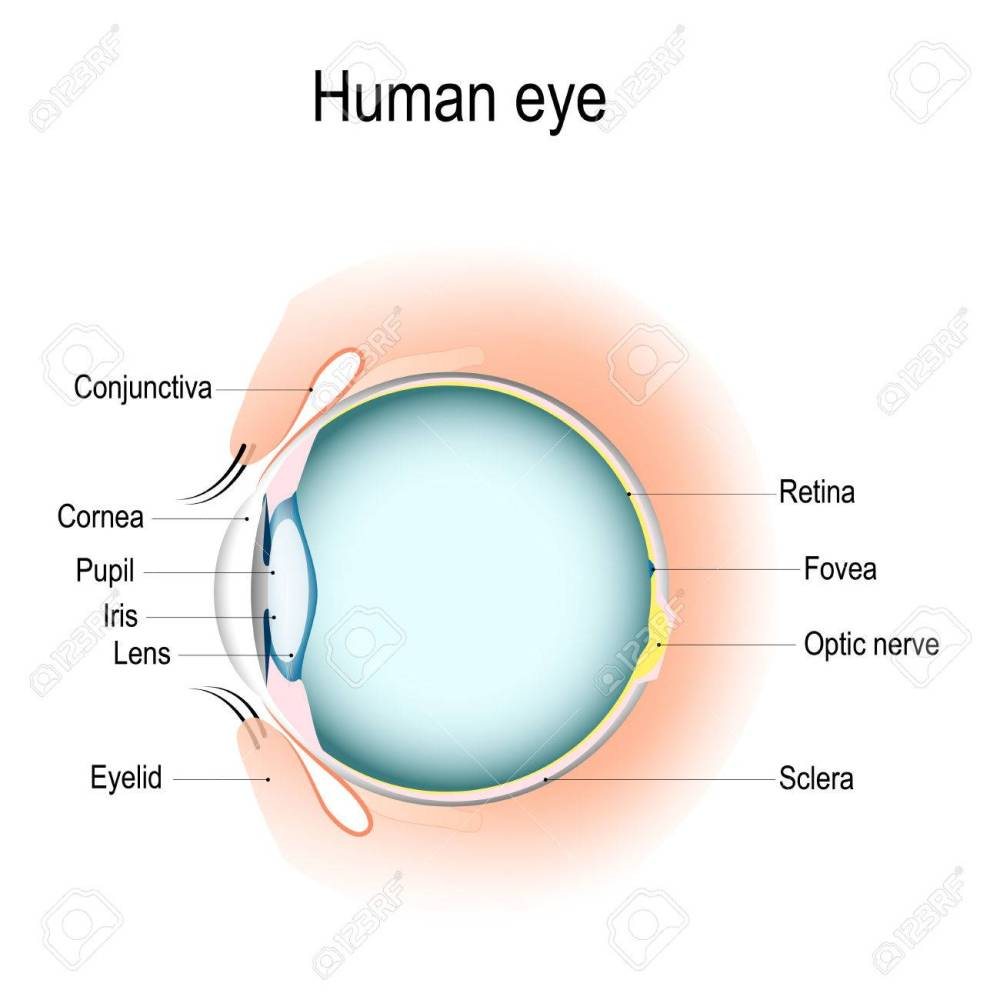 medium resolution of anatomy of the human eye vertical section of the eye and eyelids eye anatomy diagram eyelid