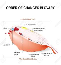 order of changes in ovary from developing follicle to ovulation and corpus luteum menstruation [ 1300 x 1300 Pixel ]