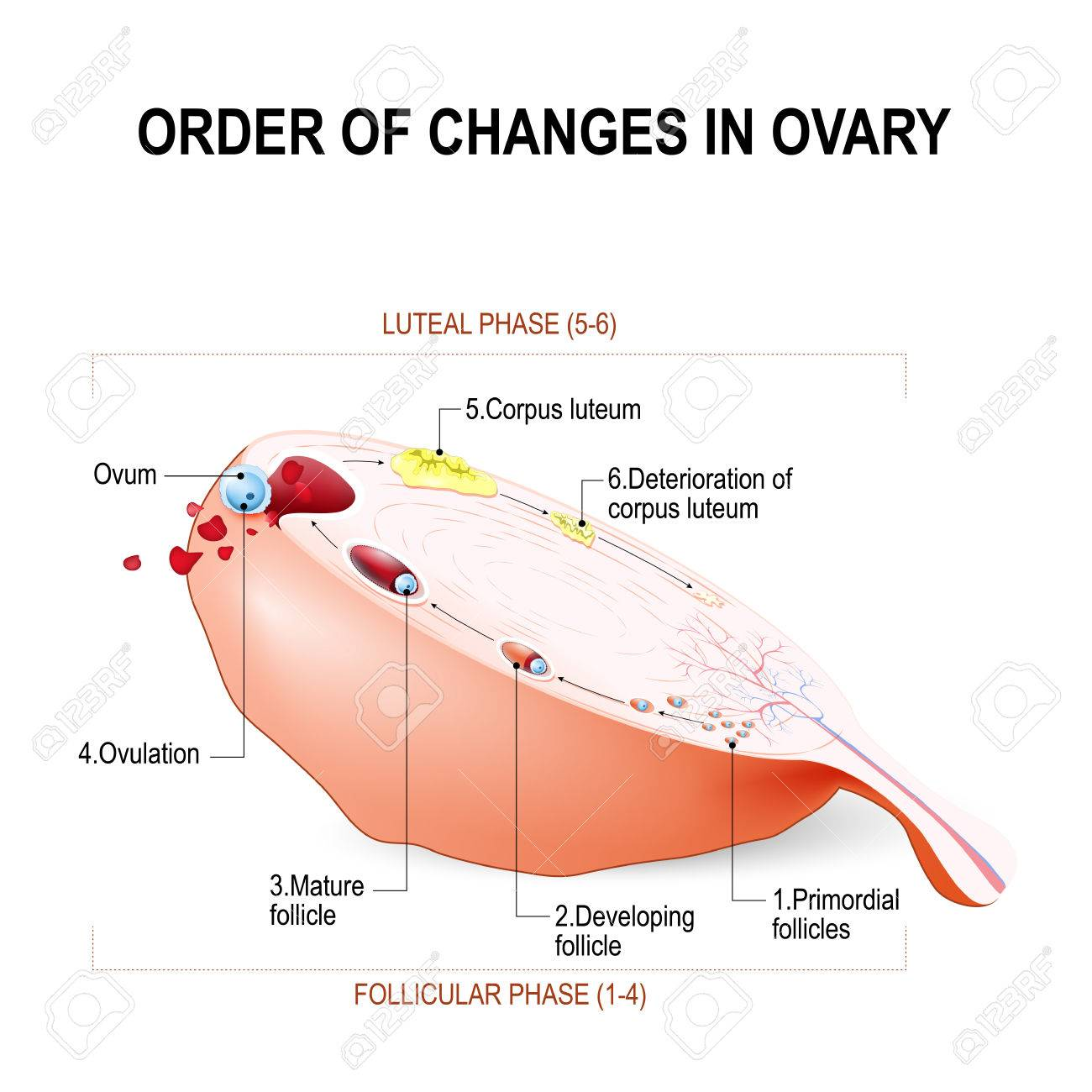hight resolution of order of changes in ovary from developing follicle to ovulation and corpus luteum menstruation