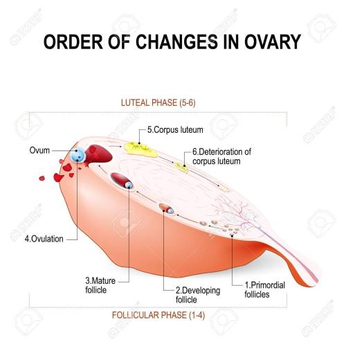 small resolution of order of changes in ovary from developing follicle to ovulation and corpus luteum menstruation