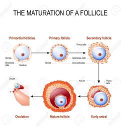 maturation of a follicle diagram of folliculogenesis stock vector 82096072 [ 1300 x 1300 Pixel ]