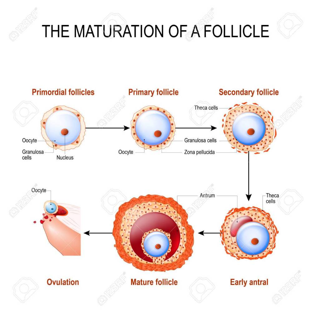 medium resolution of maturation of a follicle diagram of folliculogenesis stock vector 82096072