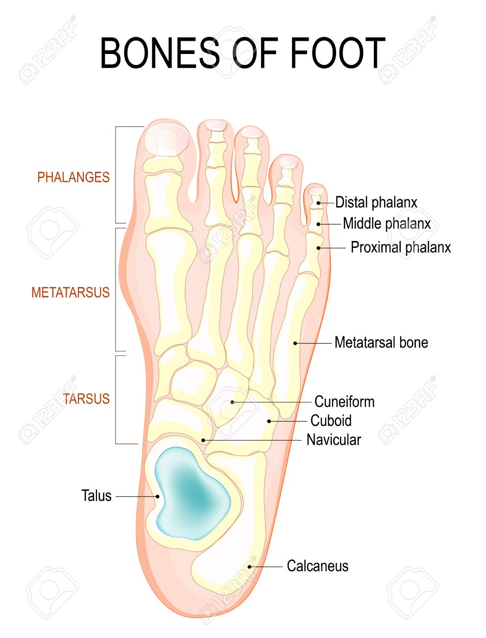 medium resolution of bones of foot human anatomy the diagram shows the placement and names of all