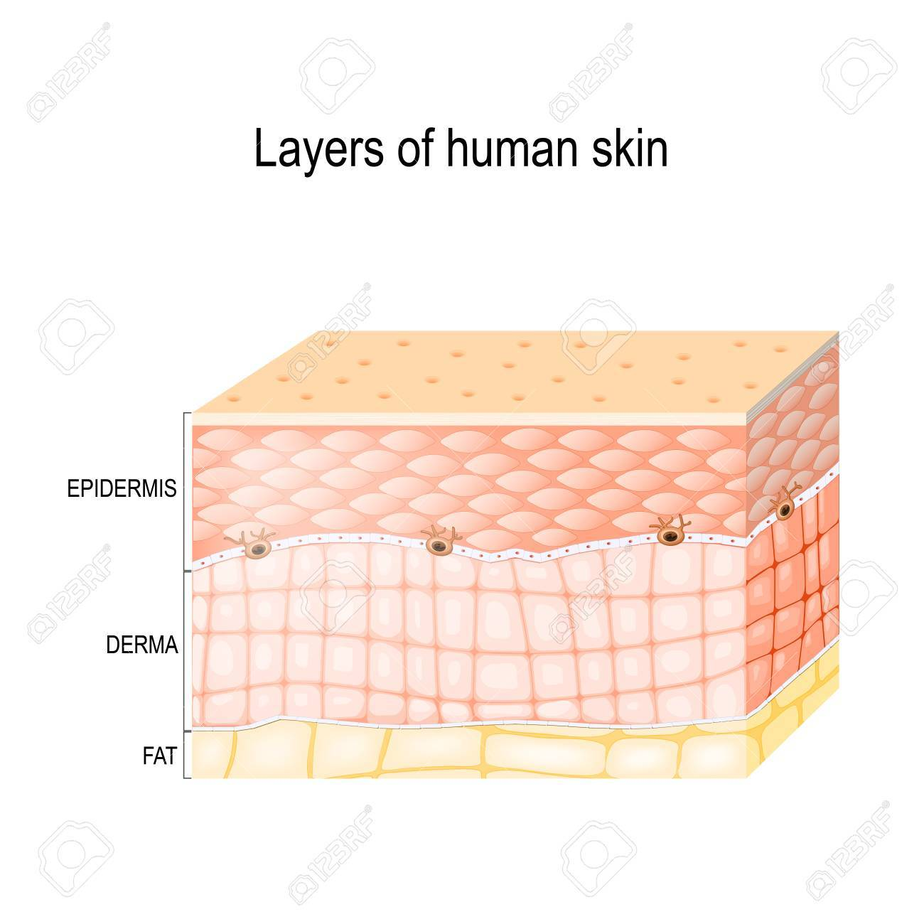 hight resolution of epidermis horny layer and granular layer dermis connective