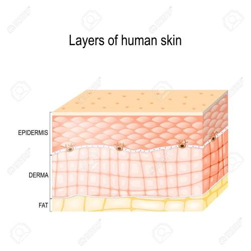 small resolution of epidermis horny layer and granular layer dermis connective