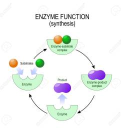 enzyme function synthesis substrate product enzyme product complex and enzyme  [ 1299 x 1300 Pixel ]