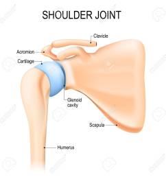 shoulder glenohumeral joint human anatomy vector diagram labeled stock vector  [ 1299 x 1300 Pixel ]