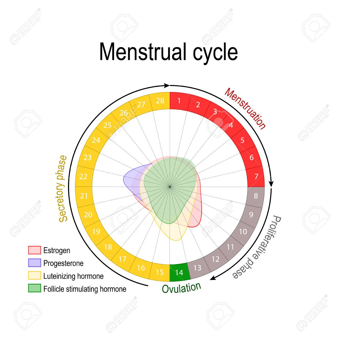 menstrual cycle diagram with ovulation wiring for air horns and hormone level ovarian follicular luteal phase bleeding period