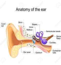 ear anatomy cross section of the right external middle and right hand diagram ear diagram right [ 1300 x 1300 Pixel ]