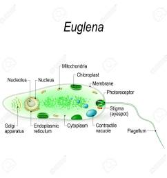 anatomy of a euglena euglena freshwater protozoan it is composed of chlorophyll and has [ 1300 x 1299 Pixel ]