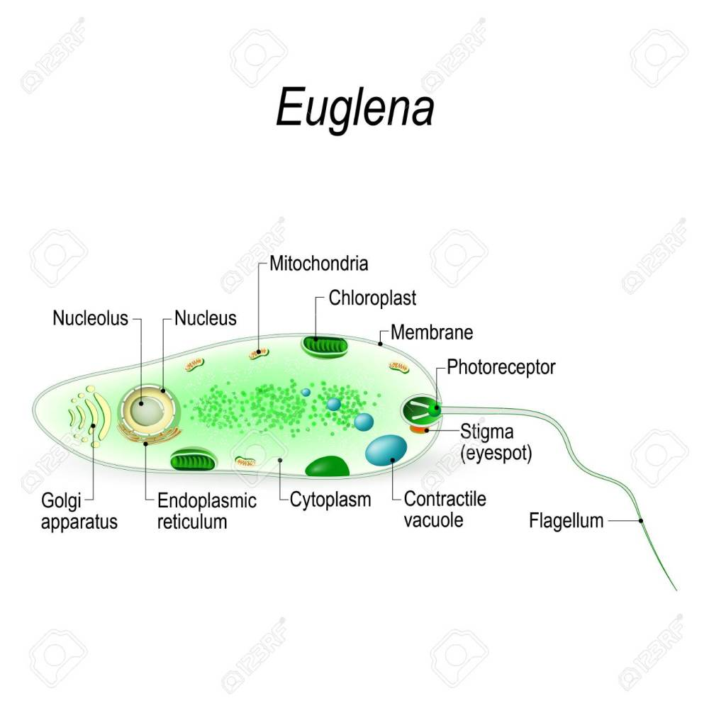 medium resolution of anatomy of a euglena euglena freshwater protozoan it is composed of chlorophyll and has