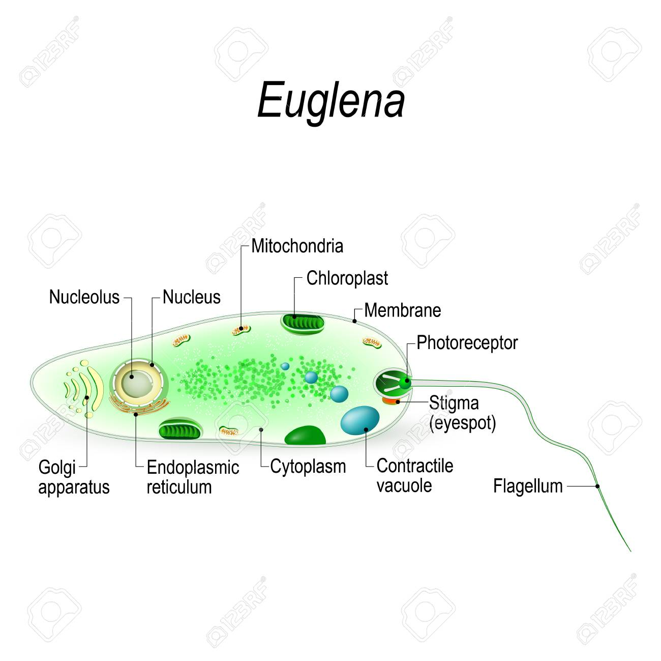 hight resolution of anatomy of a euglena euglena freshwater protozoan it is composed of chlorophyll and has