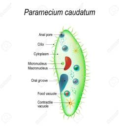 structure of a paramecium caudatum vector illustration for educational and science use stock vector  [ 1300 x 1300 Pixel ]