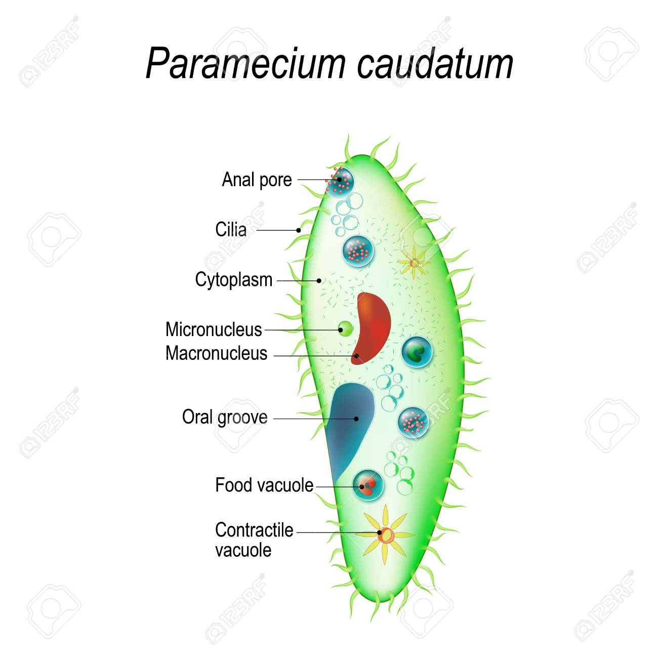 hight resolution of structure of a paramecium caudatum vector illustration for educational and science use stock vector
