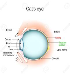 anatomy of the cat s or dog s eye vertical section of the eye cat eyelid diagram anatomy [ 1300 x 1300 Pixel ]