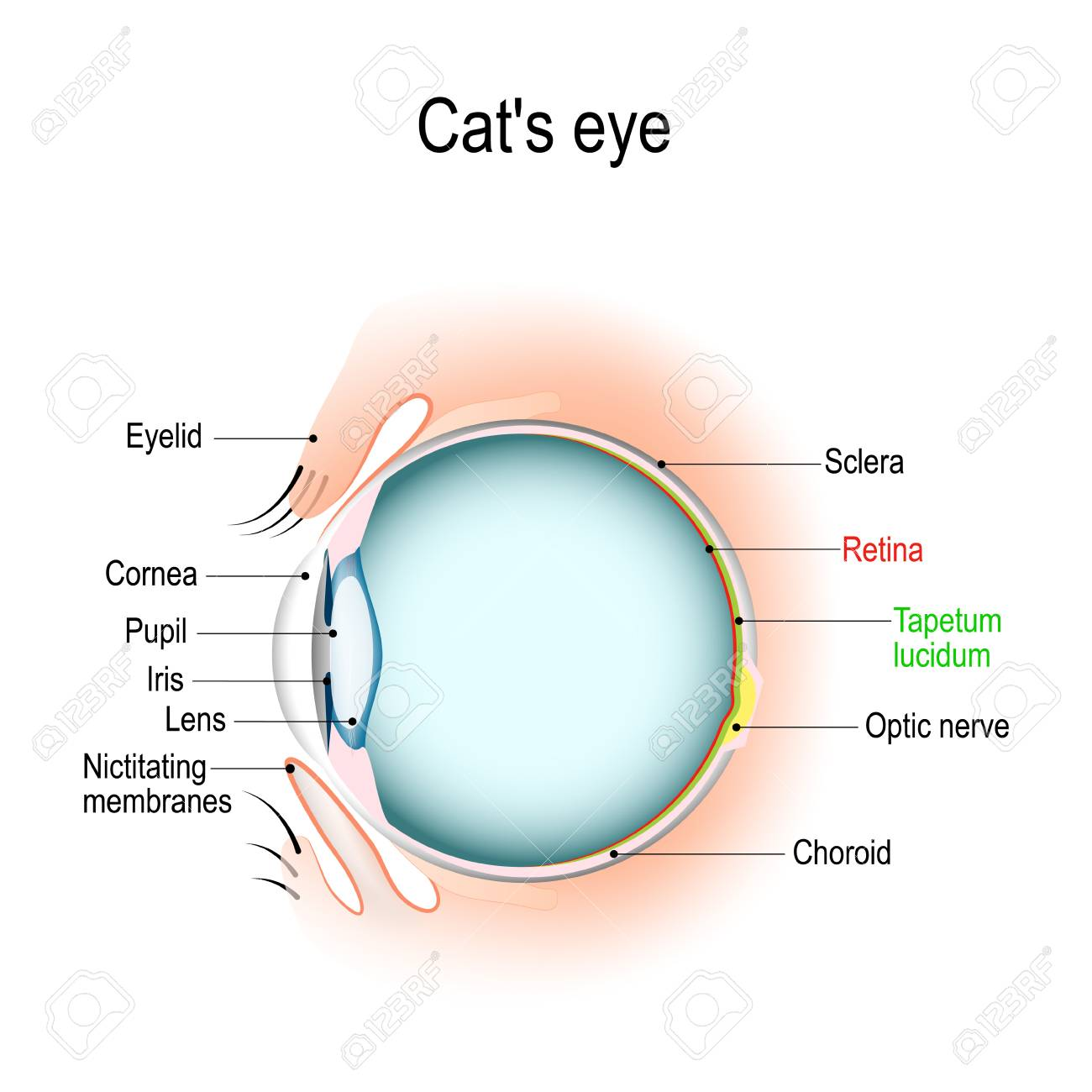 hight resolution of anatomy of the cat s or dog s eye vertical section of the eye cat eyelid diagram anatomy